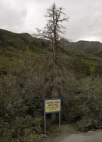 Northernmost spruce tree on the Dalton Highway, after some vandal killed it